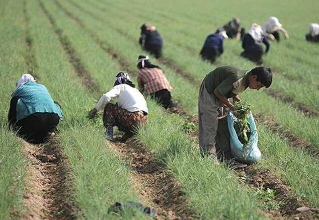 از ۵ مرداد ماه در بورس کالای ایران؛ زیره سبز را برای تحویل آبان ۹۸ معامله کنید
