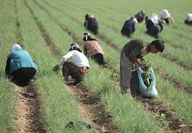 عرضه زیره سبز در بورس پس از تجربه موفق زعفران/مفاهیم بورس باید در تلفن همراه کشاورزان باشد